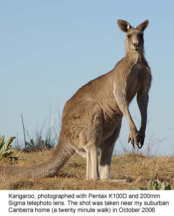Kangaroo shot on Pentax K100D